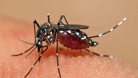 Aedes aegypti Feeding