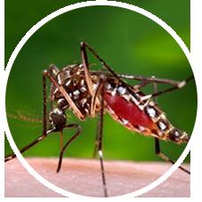 Zika Aedes aegypti